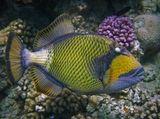 Размер Рыбы около 70 сантиметров. Снято на глубине четырех метров.  Синепёрый Балистод- самая агрессивная Красноморская рыба.  Её атаки при защите гнезда приводят к болезненным травмам.  Этот Спинорог примечателен тем, что глаза у него крутятся в разные стороны,  независимо один от другого - выглядит это совершенно бешено!  Синеперый Балистод, Красное море