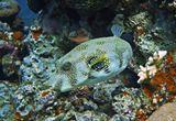 Размер Рыбки около полуметра, снято на глубине четырех метров.Колючий Аротрон, Красное море