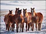 Свободнопасущиеся кони морозным январским днем. Бурятия