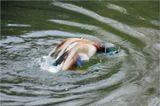 Кряква(лат. Anas platyrhynchos) — птица из семейства утиных (Anatidae) отряда гусеобразных (Anseriformes). Селезень.