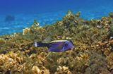 Размер Рыбки около 10 сантиметров. Снято на глубине трех метров.Аравийский Кузовок, Красное море