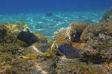 Размер Рыбки около 20 сантиметров. Снято на глубине 2- 3 метров.  Белохвостый Суффламен, Красное море