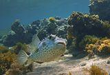 Размер Рыбы около полуметра. Снято на глубине трех метров.Желтопятнистый Циклихт, Красное море