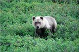 Медвеженок отбился от мамаши и неожиданно натолкнулся на толпу фотографов. От испуга он как-то жалобно завыл и бросился бежать. А в противоположную сторону скакали невольные папарацци- медведица была где-то рядом.