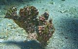 Размер Чудо- Рыбы около 30 сантиметров. Снято на глубине пяти метров.  Таитийская Бородавчатая Рыба-Клоун. Красное море