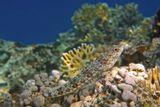 Размер Рыбки около 20 сантиметров. Снято на глубине трех метров.  Ящероголов, Красное море