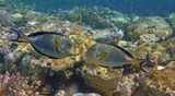 """Дня три в море плавало огромное количество Планктона, весьма крупного, (капсула в центре кадра):https://content-24.foto.my.mail.ru/mail/mvmil56/10707/b-10840.jpg который мешал фотографировать: на снимке получались белесые размытые пятна поверх объектов съемки. К тому же, видимость была затруднена, так что многие интересные встречи """"проплыли"""" мимо объектива... Аравийская Рыба- Хирург, Красное море"""