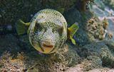 """В тот день в море густо плавал крупный Планктон, мешавший фотографировать. Под правым глазом Рыбки- """"слеза"""", видимо, из- за опасения, что вдруг на снимкеРыб получится не достаточно красив. Размер Аротрона около полуметра.Снято на глубине четырех- пяти метров.Колючий Аротрон, Красное море"""