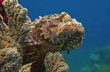 Скорпенопсис облюбовал вершину Кораллового Рифа- редкая удача для фотографа,потому что обычно эти Рыбы предпочитают располагаться на дне, (http://www.lensart.ru/picture-pid-765ab.htm)что не дает возможности снять Красавца на фоне морской синевы.Скорпенопсис Бородатый, Красное море