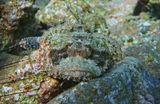 Скорпенопсис Бородатый, Красное море
