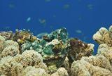 Дьявольский Скорпенопсис, Красное море