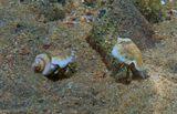 Размер раковины примерно 3- 4 сантиметра. Снято на глубине полутора метров.Мохноногие Крабики, Красное море