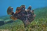 Размер Рыбки 20 сантиметров, снято на глубине около двух метров.Таитийская Бородавчатая Рыба-Клоун, Красное море