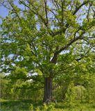 весна, май, утровековой дуб
