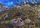 Рыба- Собачка, Красное море