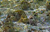 Размер Рыбы- Собачки около 10 сантиметров.  Снято на коралле,  обросшем Морским Желудем (Балянус), достаточно близко к поверхности моря, при сильном волнении.  Рыба- Собачка, Морской Желудь (Балянус), Красное море