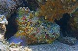 """На глубине около трех метров заметила под кораллом совершенно неприметную по цвету Бородавчатку. Стала к ней нырять, чтоб сфотографировать поближе, и Рыба вдруг превратилась по цвету и фактуре в """"драгоценные каменья""""! Жаль, что при этом она пятилась в тень коралла, что сделало невозможным продолжение фотосессии...  Океаническая Бородавчатка, Красное море"""