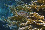 Перламутровый Ящероголов, Красное море