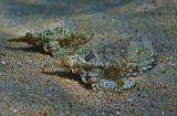 На глубине около трех метров, на песчаном дне заметила двух удивительных Рыбок, размером 5- 7 сантиметров.  Стала нырять к удивительным созданиям. Рыбки начали двигаться.  Их передвижение по дну больше напоминало ползание, чем плавание.  Цвет становился более выразительным, поверхность тела бугорчатой, а плавники все больше походили на крылья: https://content-10.foto.my.mail.ru/mail/mvmil56/10707/b-11053.jpg  Рыба- Пегас, Красное море