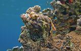 Скорпенопсис облюбовал вершину Кораллового Рифа- редкая удача для фотографа,потому что обычно эти Рыбы предпочитают располагаться на дне:http://www.lensart.ru/picture-pid-771d9.htm?ps=11что не дает возможности снять Красавца на фоне морской синевы.Скорпенопсис Бородатый, Красное море