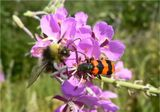 Пестряк пчелиный или пчеложук(лат. Trichodes apiarius) и шмель(Bombus) на цветке кипрея усколистного(копорский чай или иван-чай усколистный)Chamerion angustifolium...