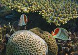 Красноспинная Рыба- Бабочка, Коралл- Мозговик  Красное море