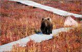 Ни свет ни заря разбудил нас дежурный по кухне. Все прильнули к окну с удивлением разглядывая идущего к нам медвеженка. Наиболее чадолюбивые сразу стали предлагать угостить гостя чем-нибудь вкусным. Но опытный проводник нас строго осадил. И точно- откуда-то раздался грозный рык медведицы и мишка быстро поскакал назад.