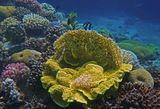 Над Огненным Кораллом- Зебровидный Дасцилл (полосатая Рыбка), ярко- желтая- Турбинария Почковидная, в центре Турбинарии- Гетороксения (Мягкий Коралл), слева- разноцветные Акропоровые Кораллы, справа- Коралл- Мозговик. Красное море.