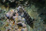 Рыба- Собачка Многополосая Салария, Красное море