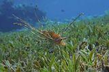 Крылатка- Зебра (детёныш), Красное море