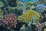 Короткая Экзалия, Акропоровые Кораллы, Красное море