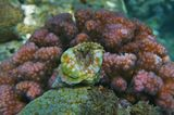 Грушевидный Тритон (раковина), Желтоглазый Рак-Отшельник, Поциллопора Бородавчатая (коралл бордовый)  Красное море