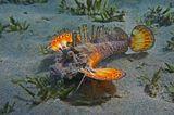 Приближение фотографа Бородавчатке явно не понравилось: она грозно распуширила плавники- крылья и стала закапываться в песок: https://content-18.foto.my.mail.ru/mail/mvmil56/11434/b-11481.jpg  Нитепёрая Бородавчатка, Красное море