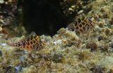 Размер рыбки 7- 8 сантиметров. Снято на вершине Каменистого Коралла:https://content-18.foto.my.mail.ru/mail/mvmil56/11434/b-11618.jpgПятнистый Кудрепёр, Красное море