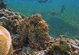 """На ЗП летает """"чернило"""", которое выпустил Осьминог, защищаясь от фотографа )Осьминог, Красное море"""
