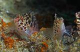 Размер рыбки 7- 8 сантиметров. Снято на вершине Каменистого Коралла: https://content-18.foto.my.mail.ru/mail/mvmil56/11434/b-11618.jpg  Пятнистый Кудрепёр, Красное море