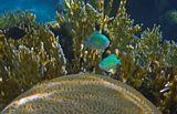 Размер Рыбки 5-6 сантиметров.Изумрудный Хромис в Коралловом Интерьере: Огненный Коралл, Коралл- МозговикКрасное море