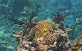 Крылатка- Зебра, Красное море
