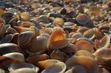Россыпи раковин Glycymeris на берегу Средиземного моря