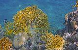 Длина Рыбки около полуметра.  Голубопятнистая Свистулька, Огненные Кораллы, Коралл- Мозговик Красное море