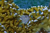 Огненный Коралл, Короткая Экзалия  Красное море