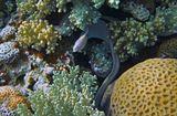 Перечная Мурена, Коралл справа- Фавия Ямчатая.Красное море