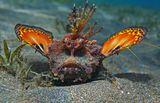 Друзья, обратите внимание: на лицевых впадинах под глазами- ПЕСОК! Остался после того, как Бородавчатка зарывалась в песок:https://content-18.foto.my.mail.ru/mail/mvmil56/11434/b-11481.jpgНитепёрая Бородавчатка, Красное море