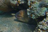 Мурена Желтоперая вырастает до полутора метров, питается рыбой и беспозвоночными.Снято на глубине около четырех метров. Красное море