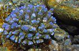 Фосфоресцирующие изумрудные крошечные цветочки- это венчики щупалец Жесткого Коралла Акропора ЛамаркаАкропора Ламарка (Жесткий Коралл), Красное море