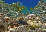 Размер Рыбок около пяти сантиметров.  Рыба- Собачка Каштановый Циррипект, Красное море