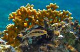 Красноморская Зубатая Барабуля (размер Рыбки около 15 сантиметров) на фоне Огненного КораллаКрасное море