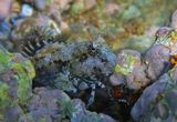 Размер рыбки около семи сантиметров. Рыба- Собачка- Многополосая Салария. Красное море