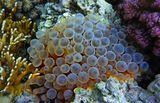 Энтакмея Четырехцветная, Красное море