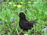 Чёрный дрозд(лат. Turdus merula)...